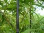 Bambus Verkauf, Fargesia Bambus, Phyllostachys Bambushandel