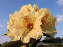 Rhododendron gelb Alpenrose Großblumig