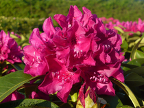 Rhododendron violett Alpenrose Großblumig