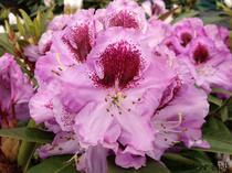 Rhododendron rosa Alpenrose Großblumig